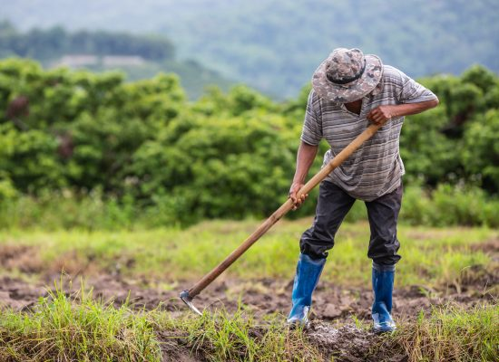 A male farmer who is using a shovel to dig the soil in his rice fields.